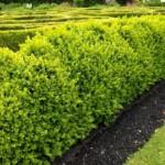 Самшит — вечнозеленый кустарник
