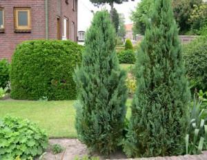 Посадках хвойные растения для сада