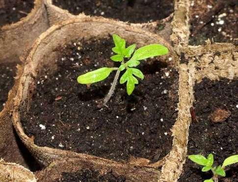 Когда нужно сажать томаты 23 май 2011 7 26