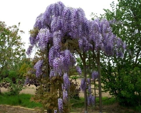 Многолетние цветы для дачи вьющиеся