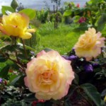 Создание розария на даче своими руками