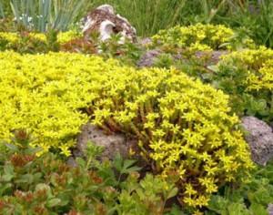 Очиток (седум) - виды растения, уход, выращивание и размножение