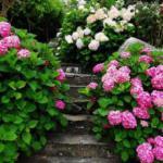 Гортензия — настоящая принцесса в вашем саду