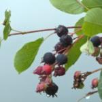 Ирга (Амеланхиер) — популярные сорта, посадка и уход