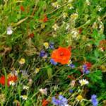 Как посадить мавританский (цветущий) газон на даче?