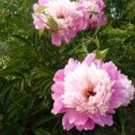 Пион – пышный соперник розы