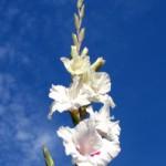 Гладиолус – цветок гладиаторов Рима