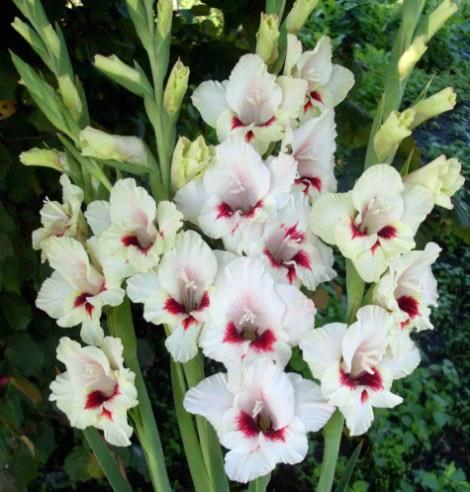 цветы картинки гладиолусы