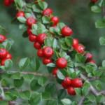Кизильник – видовое разнообразие, особенности посадки и ухода