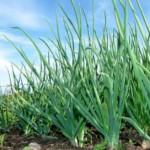 Когда сажать лук? Особенности посадки и выращивания