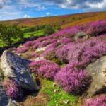 Скромный вереск — растение шотландских легенд