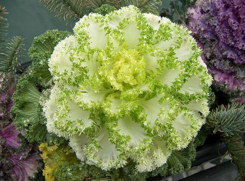 Декоративная капуста - выращивание, посадка и уход