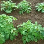 Посадка картофеля — когда и как сажать, сроки и способы посадки