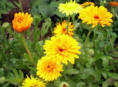 Жёлтые бордюрные цветы