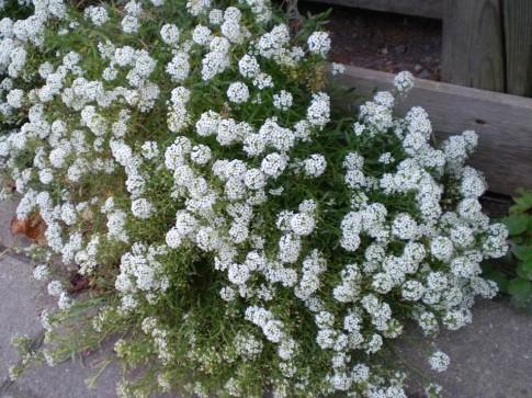 цветы многолетники фото и названия: