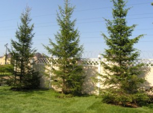 На каком расстоянии можно сажать деревья от забора соседа 637