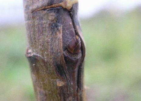 Как правильно привить плодовое дерево