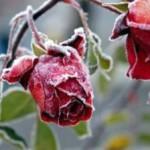 Подготовка роз к зиме – укрытие и правильный уход