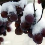 Подготовка винограда к зиме — укрытие и уход