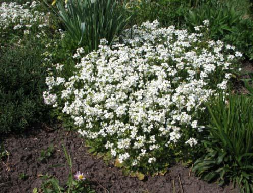 Многолетние цветы белые