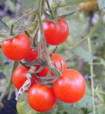 Сорта овощей для теплиц - томатов, огурцов, перцев, редиса, баклажанов