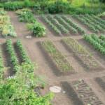 Особенности посадки и выращивания овощей в открытом грунте