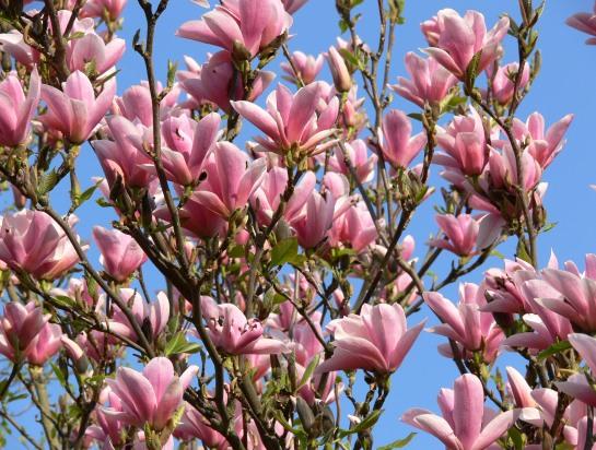 цветущие кустарники и деревья фото и названия