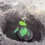 Посадка винограда весной: правильная подготовка черенков и высадка саженцев