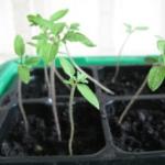 Как вырастить рассаду помидор на подоконнике в домашних условиях?