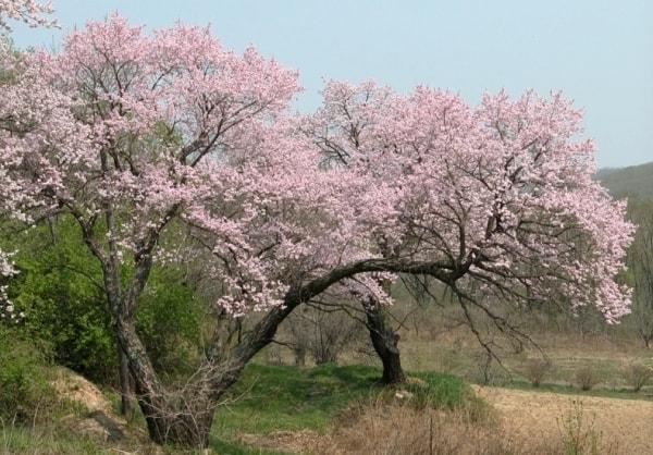 Абрикос маньчжурский - взрослое дерево