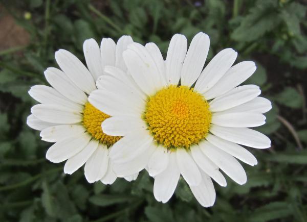 Цветы многолетние неприхотливые
