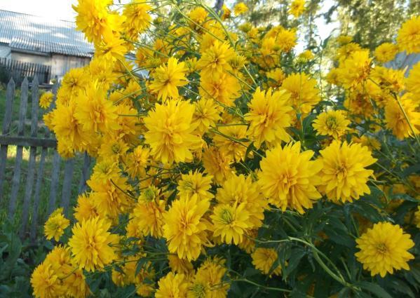 Многолетние жёлтые высокие цветы
