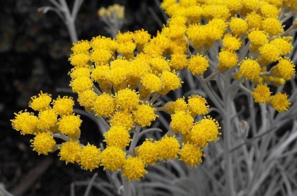 Цветы сухоцветы когда срезать
