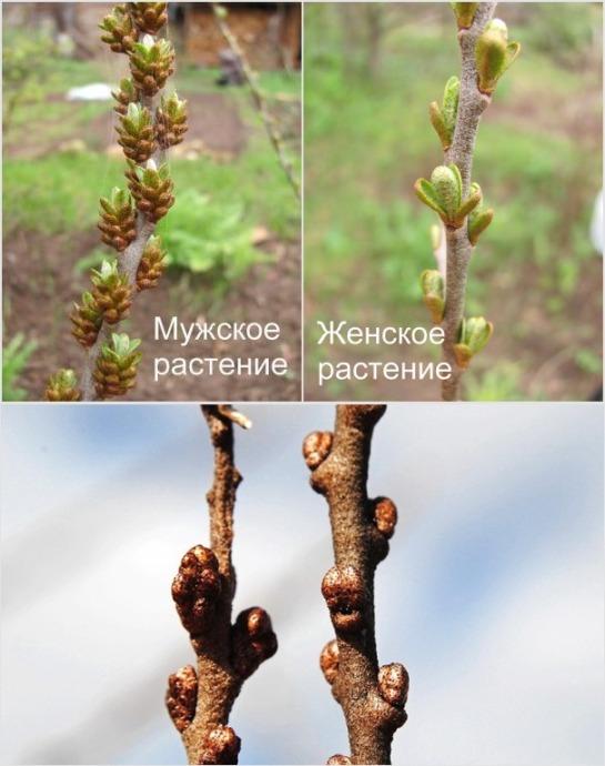 Выращивание облепихи