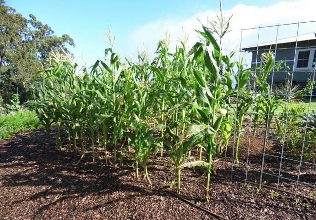 Как правильно сажать кукурузу фото 45