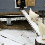 Устройство зимнего курятника: планировка, утепление, обогрев