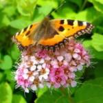 Кустарник спирея – кружево для сада