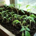 Когда сажать рассаду перца, помидор и других овощных культур?