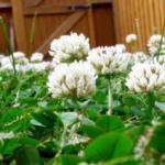 Газон из клевера для вашего участка — альтернатива традиционному газону