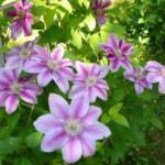 Клематис — разнообразие сортов. Особенности посадки, выращивания и ухода