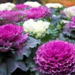 Декоративная капуста как украшение сада