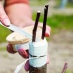 Как правильно привить плодовое дерево своими руками?