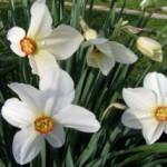Выбираем белые цветы для сада