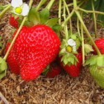 Клубника ремонтантная: сорта, особенности посадки и выращивания