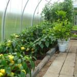 Выбираем лучшие сорта овощей для теплицы