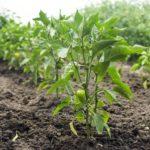 Сорта перца для открытого грунта, сроки и особенности высадки рассады