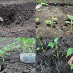 Когда высаживать помидоры, огурцы и перец в открытый грунт: сроки и условия