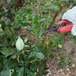 Обрезка и укрытие роз на зиму: фото-инструкция от опытного садовода